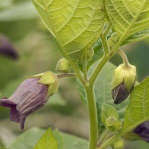 Deadly Nightshade plants